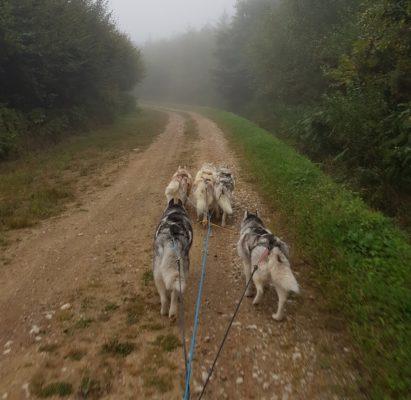 Attelage canin husky sibérien