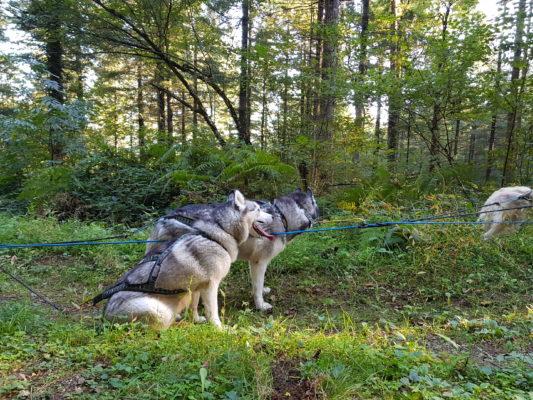 attelage canin ligne de trait casse chiens outdoor