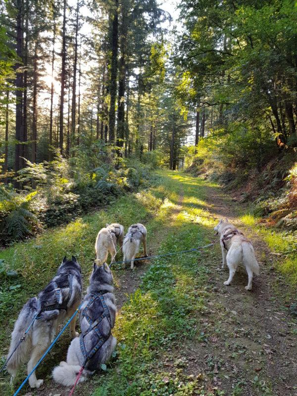 sport canin attelage chiens