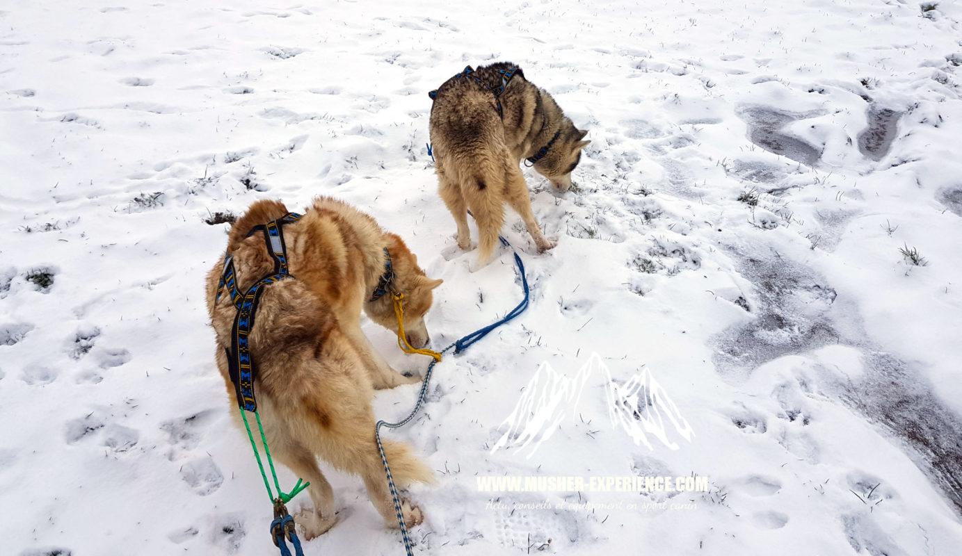 Mon chien mange la neige au lieu de courir