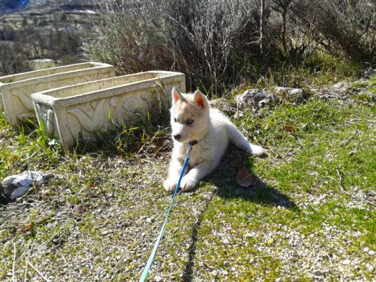 Canicross avec un chiot l'HORREUR! canicross âge chien