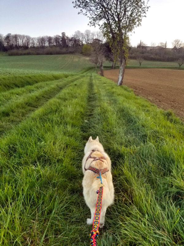 canicross cani rando ligne de trait harnais xback